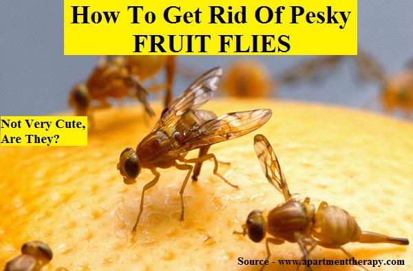 HOW-TO-GET-RID-OF-PESKY-FRUIT-FLIES